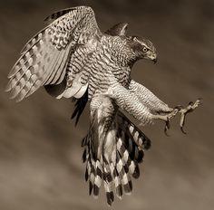 Northern Goshawk by Ronald Coulter (Accipiter gentilis) All Birds, Birds Of Prey, Love Birds, Beautiful Birds, Animals Beautiful, Eagles, Rapace Diurne, Northern Goshawk, Big Bird