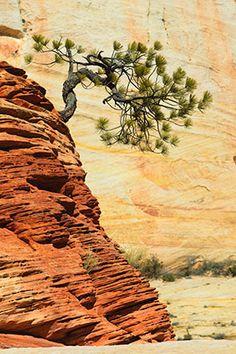 ~ Bent Pine Tree ~ Zion National Park, Utah....