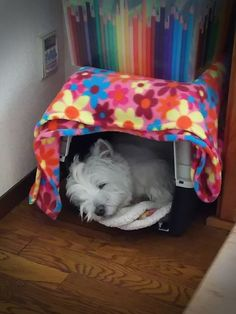 Claire the Westie #naptime