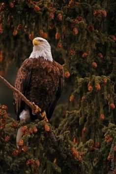 """Bald eagles aren't really bald, either—their heads have bright white plumage that contrasts with their dark body feathers, giving them a """"bald"""" look. But young bald eagles have mostly brown heads. Love Birds, Beautiful Birds, Animals Beautiful, Cute Animals, Eagle Animals, Beautiful Pictures, The Eagles, Bald Eagles, Photo Aigle"""