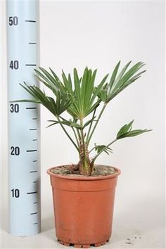 Dwarf chusan palm tree - Outdoor palm tree -Wonderful gift for life that will grow and reach height of 12ft plus (in 10-20 years) - Hardy to uk climate - Next day delivery - Small palm tree - Trachycarpus Wagnerianus - Tolerant to wind and cold weather - Great for any garden in the UK. plants from zion http://www.amazon.co.uk/dp/B00UAI12Q8/ref=cm_sw_r_pi_dp_S7A-ub0NJ571S