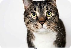 New York, NY - Domestic Shorthair. Meet Petra, a cat for adoption. http://www.adoptapet.com/pet/8570026-new-york-new-york-cat