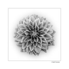 Zinnia in Black and White