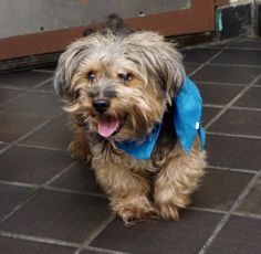 SHAGGY - 11847 - - Manhattan  TO BE DESTROYED 11/15/17: ****CAN BE PUBLICLY ADOPTED**** A volunteer writes: Little Shaggy is at his door, all ready for me to scoop him up and go for a stroll. He is a good walker and does his business as soon as we hit the street (we were told that he is house rated). Shaggy was surrendered into our care because the owner claims that he had become unfriendly to men and male dogs. Pets can be different in a shelter environment, but we did not
