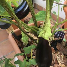 Ñam ñam  #eggplant #berenjenas #huertourbanopiluki #growmyownfood #urbangarden #huertoencasa #huertourbano #huertocasero #huertoenmacetas #huertoecologico #huertaencasa #hortaemcasa #hortaurbana #huertaurbana