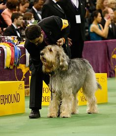 A handler assesses his beautiful Otterhound on the show floor. Look at that proud pose!