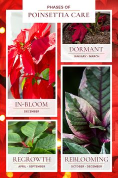 Whichever type you prefer, you are going to want to keep this plant's fabulous blooms vibrant and healthy for as long as possible. Follow the below steps provided by the floral experts at Blossom Flower Shops to help ensure this ornamental house plant stays colorful and healthy. #BlossomFlowerShops Red Plants, Colorful Plants, Tropical Plants, Poinsettia Plant, Christmas Poinsettia, Christmas Time, Care Calendar, Christmas Plants, Blossom Flower