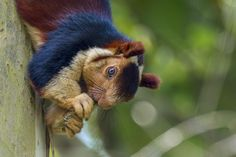 Malabar Giant Squirrel... a close up... Photo by Peter Moses — National Geographic Your Shot