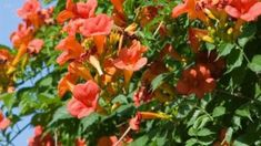 Milin amerykański (Campsis radicans, syn. Bignonia radicans) należy do rodziny bignoniowatych, podobnie jak katalpy. W warunkach naturalnych milin rośnie w południowo-wschodnich rejonach Stanów Zjednoczonych (stąd jego nazwa amerykański). Pierwsze miliny amerykańskie dotarły do Europy już w XVII wieku, początkowo były sadzone jedynie w ogrodach przypałacowych i  botanicznych. Pergola, Plants, Outdoor Pergola, Plant, Planets
