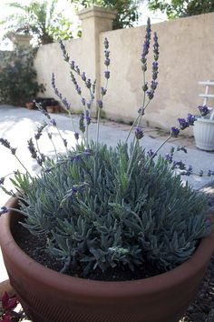 Gardening Container How to Grow and Care for Lavender in Containers. Lavender Plant Care, Potted Lavender, Growing Lavender, Lavender Flowers, Caring For Lavender Plants, French Lavender, Lavander, Fresh Flowers, Garden Plants