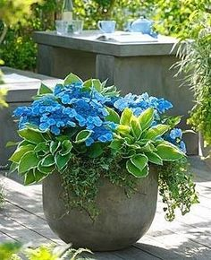 Shade Container Gardens - Hydrangea Blue Wave, Hosta Francee & Ivy, container gardening, color and texture in a container Container Flowers, Container Plants, Container Gardening, Plant Containers, Vegetable Gardening, Hydrangea Shade, Hydrangea Garden, Hydrangeas, Outdoor Plants