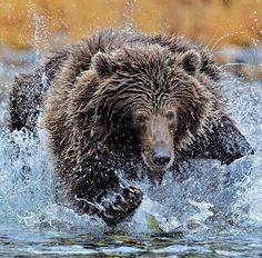 A young bear goes for a salmon in the river. ...