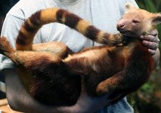 """[I couldn't tell if this was a new species or just not known to be found in the particular area.  It's new to me though!]  """"Lost World"""" Found in Indonesia Is Trove of New Species   During a December 2005 expedition in Indonesia's Foja Mountains, a researcher cradles a golden-mantled tree kangaroo, the first such tree kangaroo ever spotted in Indonesia"""