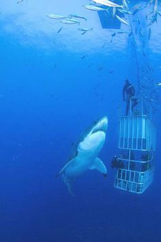 Great white shark and shark cage divers Shark Week, Shark Cage, Deep Blue Sea, Great White Shark, Orcas, Ocean Creatures, Mundo Animal, Sea World, Underwater Photography
