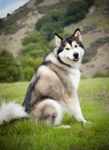 Wonderful All About The Siberian Husky Ideas. Prodigious All About The Siberian Husky Ideas. Siberian Husky Facts, Siberian Husky Puppies, Husky Puppy, Alaskan Husky, Alaskan Malamute, Malamute Puppies, Dane Puppies, Retriever Puppies, Labrador Retriever