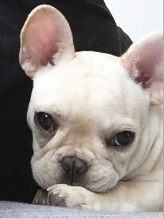 Lola and Stella, French Bulldogs, #yogafrenchies on instagram