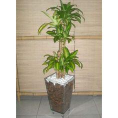 Pau D'água é uma das plantas para decorar o apartamento com muita elegância e bom gosto