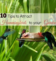 attract to your garden in 10 easy steps - Homemade Hummingbird Food