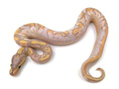 Banana Calico Yellowbelly Ball Python