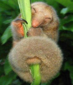 A cute silky anteater! - A silky anteater holds on to a twig. Cute Baby Animals, Animals And Pets, Funny Animals, Odd Animals, Drawing Animals, Happy Animals, Beautiful Creatures, Animals Beautiful, Unusual Animals