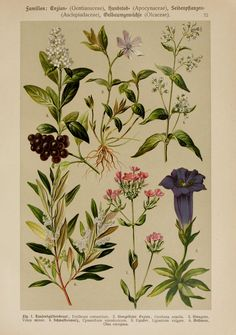 Hoffmann-Dennert botanischer Bilderatlas, - Biodiversity Heritage Library