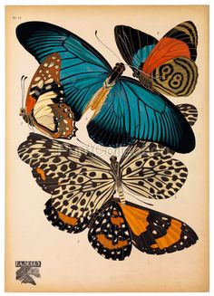 The artist, designer and entomologist E.A. S̩guy was very prolific in the early part of the last century in France. This is part of a larger set of about 14 groups of butterflies or Papillons.