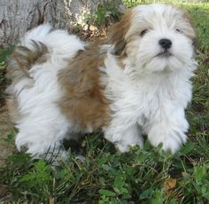 Havanese dog breeds are amazing! Source by francescaaaaaaa The post Havanese dog breeds are amazing! appeared first on Daisy Dogs. Havanese Grooming, Havanese Puppies, Baby Puppies, Cute Puppies, Dogs And Puppies, Dogs 101, Teacup Puppies, Dog Grooming, Small Dogs For Sale