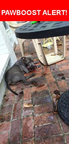 Is this your lost pet? Found in Montgomery, AL 36111. Please spread the word so we can find the owner!  Gray pit puppy - intact  Thomas Avenue, Montgomery, AL