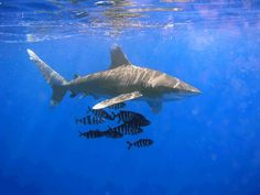 The 22nd Largest Shark: Oceanic whitetip shark (Carcharhinus longimanus) 12.99 feet via @Amanda Mason Week @Discovery Channel Channel