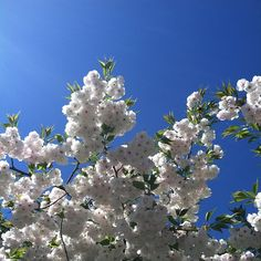 Happy spring! Cherry blossoms in Riverside Park. #cherryblossoms #newyorkcity #nyc #sakura #spring