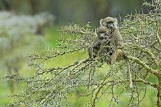 Baboons in Nakuru National Park by Guy Standen