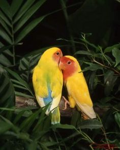 Tropical Birds in Love