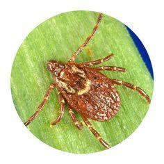 American dog tick type Brown Bodies, Tick Fever, Wood Tick, Brown Dog Tick, Types Of Ticks, Rocky Mountain Spotted Fever, Bacterial Diseases, Deer Ticks