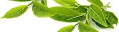 Matcha Tee: Wirkung, Rezepte und Studien