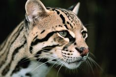 Protect Ocelots and Jaguars From Open-Pit Mining 37 Days Left To Sign ! Baby Animals, Cute Animals, Serval Cats, Clouded Leopard, Rare Cats, Small Cat, Beautiful Cats, Beautiful People, Leopards