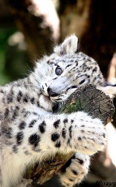Baby snow leopard from ZOO Jihlava, Czech republic. by woxys