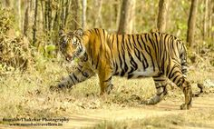 Nagzira Wildlife Safari >>>Nagzira is totally a hidden tiger paradise in Vidharbha region of Maharashtra. Its about 3 Hrs drive from Nagpur city and is not less in any sense than Tadoba Tiger Reserve. >> #Wildlife #Bhandara #Maharashtra