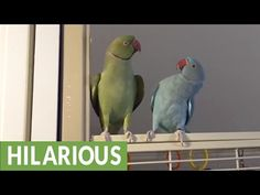 Parakeet brothers engage in full length conversation - YouTube