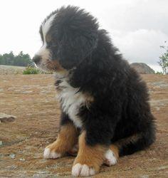 Bernese Mountain Dog...I really want one!