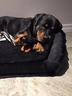"""Click visit site and Check out Cool """"Rottweiler"""" T-shirts. This website is superb. Tip: You can search """"your name"""" or """"your favorite shirts"""" at search bar on the top. Positive Dog Training, Basic Dog Training, Training Tips, Training Meme, Rottweiler Love, Rottweiler Puppies, Beagle, Cute Puppies, Cute Dogs"""