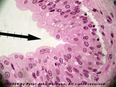 Histology and Skin Flashcards   Quizlet