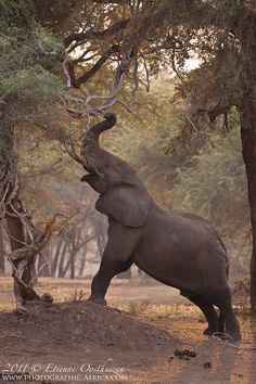 Elephant using a termite mound to reach higher by Etienne Oosthuizen