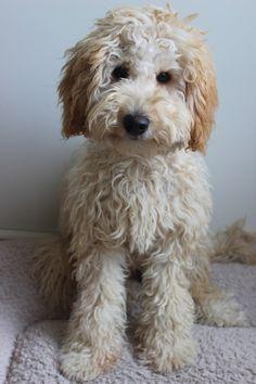Australian Labradoodle Puppies, Labradoodle Puppies For Sale, Cute Puppies, Miniature Labradoodle, Chien Goldendoodle, Goldendoodles, Labradoodles, Cockapoo, Toy Labradoodle