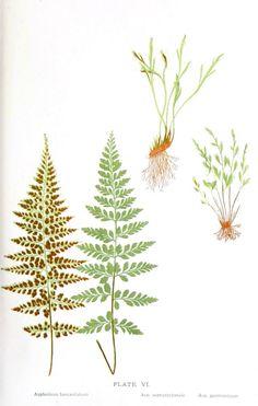 Botanical - Leaf - Fern, British Fern   (5)