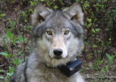 Justice 4 #Wolf  Slain in #utah  http://www.thepetitionsite.com/takeaction/504/251/012/#bbtw=753161466… via @TiffanyFeline  #wolves #echo  Only 3,200 sigs! Pls sign