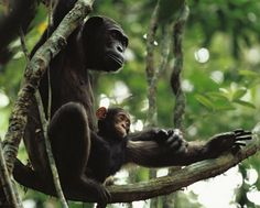 Mother and child | A mother and baby chimpanzee relax in a tree in the Goualougo Triangle, an area of lush forest in the Republic of Congo that is now within the protected borders of the country's Nouabalé-Ndoki National Park. Credit: Michael Nichols, National Geographic Society.