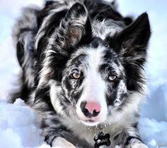 My beautiful Slate Merle Border Collie, Gimme.