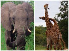- Fotografías Sudáfrica - El reconocido trotamundos, Jorge Collazos estuvo en África, recorriendo sus selvas y paisajes más hermosos. Se encontró con Jirafas, elefantes, leones y toda la vida salvaje que capturó con su lente. Mira toda la galeria en #GenteOnline: ow.ly/sxTPj