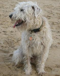 Nessa the Wheaten Terrier | Dogs | Daily Puppy