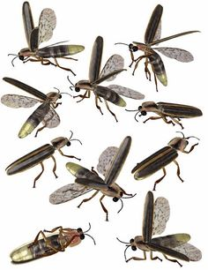 Firefly Insect Illustration